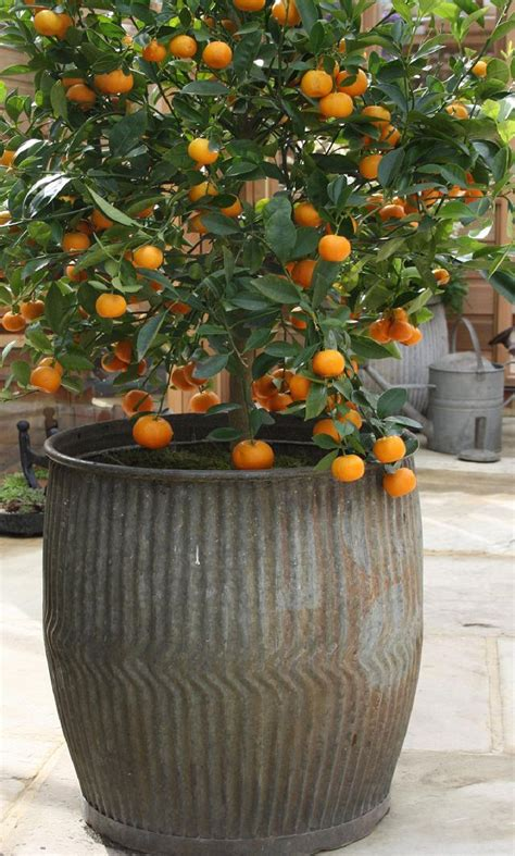 tree container best fruits to grow in pots fruits for containers