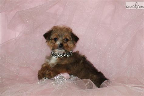 teddy puppies for sale near me morkie yorktese puppy for sale near dallas fort worth f81567cc 22d1