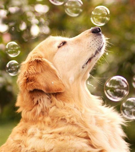 golden retriever chien golden retriever les plus adorables photos du chien