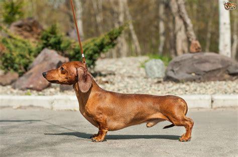 Miniature Dachshund Dog Breed Information, Buying Advice ...