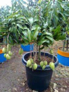 Jual Bibit Mangga Namdokmai Golden cara menanam buah mangga di dalam pot rumah tanaman