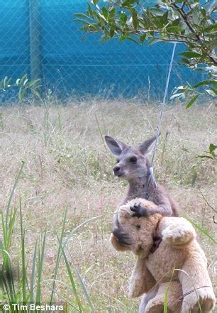 doodlebug orphaned kangaroo doodlebug the kangaroo hugging teddy goes viral
