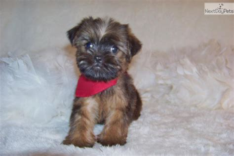 brussels griffon puppies for sale brussels griffon images breeds picture
