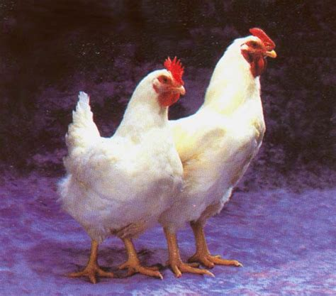 gambar ayam bagus  keren lucu  keren