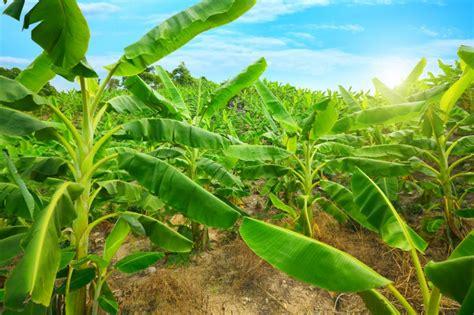Pflege Bananenpflanze by Bananenpflanze Musa Pflege D 252 Ngen Und 220 Berwinterung