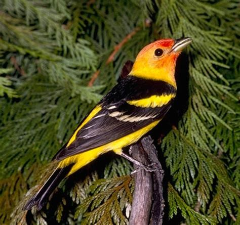 western tanager what a pretty bird give me the earth