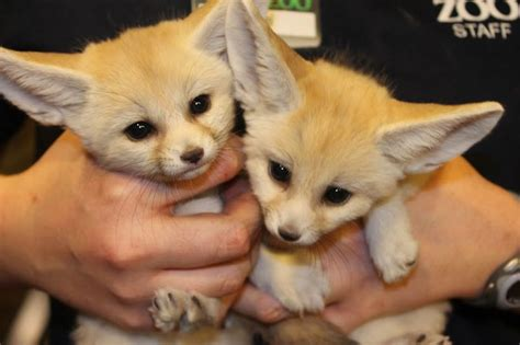 fennec fox sibs  debut zooborns