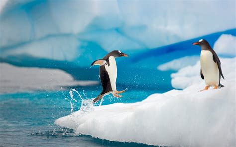 Top Pinhuin hd penguins wallpapers and photos hd animals wallpapers