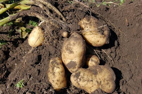 backyard potatoes 6 different methods of growing potatoes in your backyard