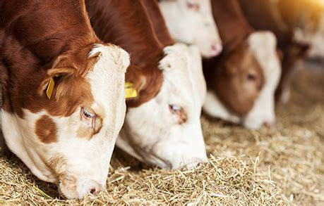 livestock futures and options cme group