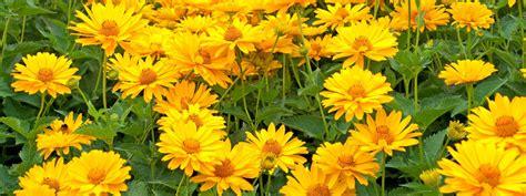 fiori gialli nomi fiori gialli da piantare adesso per riscaldare l autunno