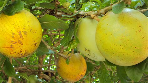 the miracle fruit into the heart of asia