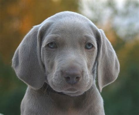 gray dogs 25 best ideas about blue weimaraner puppy on weimaraner weimaraner
