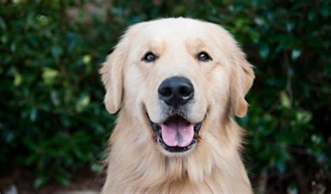 average expectancy for golden retrievers 37 smartest breeds ranked 9 is most surprising