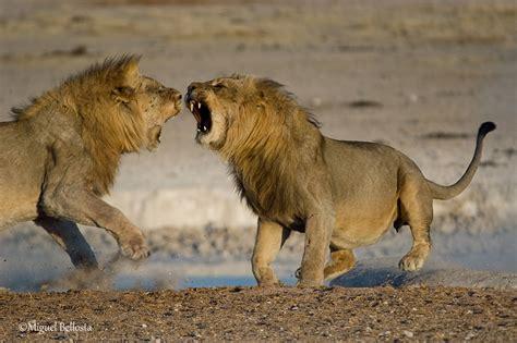 imagenes leones peleando leones en pn ethosa galer 237 as fotonatura org