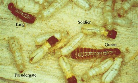 west indian powderpost drywood termite cryptotermes