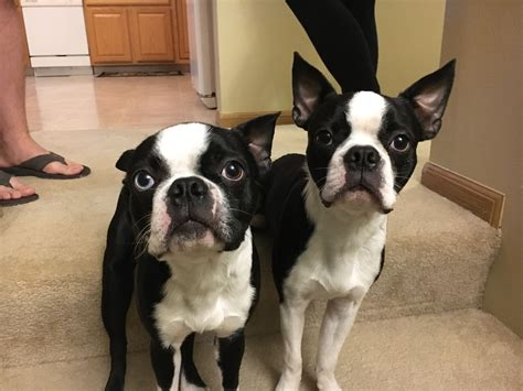 puppy biting ankles stop boston terrier puppy biting photo