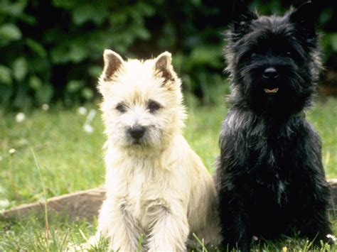 cairn terrier puppy search results for hairstyles cairn terrier black hairstyle and haircuts