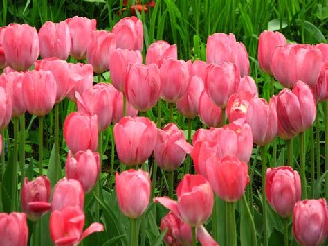 Mother S Day Flower by Pink Tulips Hd Wallpaper Flowers Wallpapers