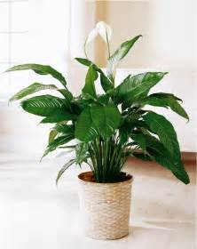 Indoor House Plants by Peace Lily Indoor Flower