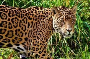Photo Of A Jaguar Jaguar Hd Wallpaper And Background 1920x1270 Id