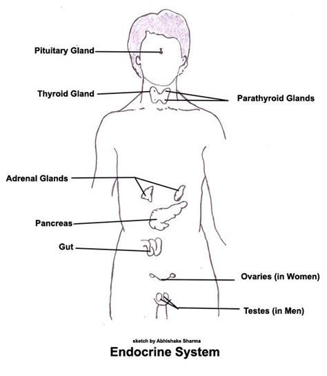 glands in the diagram endocrine system diagram for modernheal
