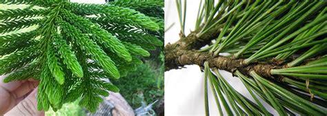 Pohon Pohonan Cemara Isi 4 jenis pohon yang indah pelindung dari matahari