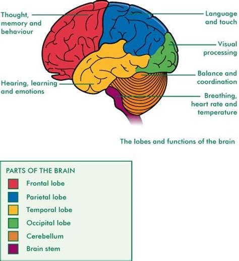 diagram of brain lobes brain lobes and functions school the o