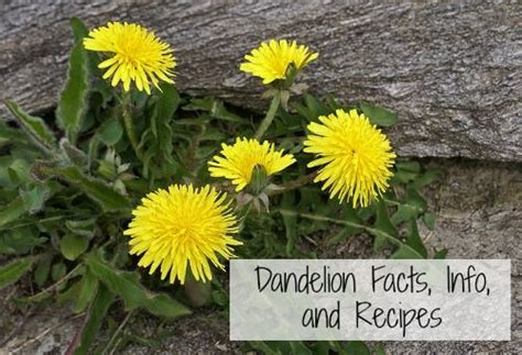 dandelion facts 20 best images about edible weeds 4 health on pinterest