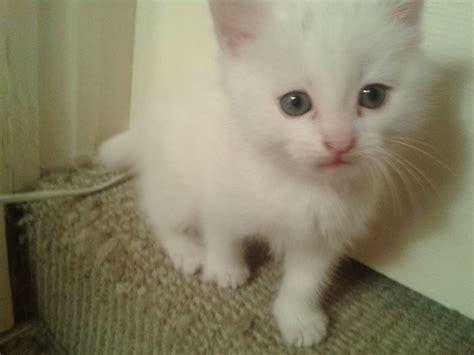 stunning white kittens for sale minehead somerset