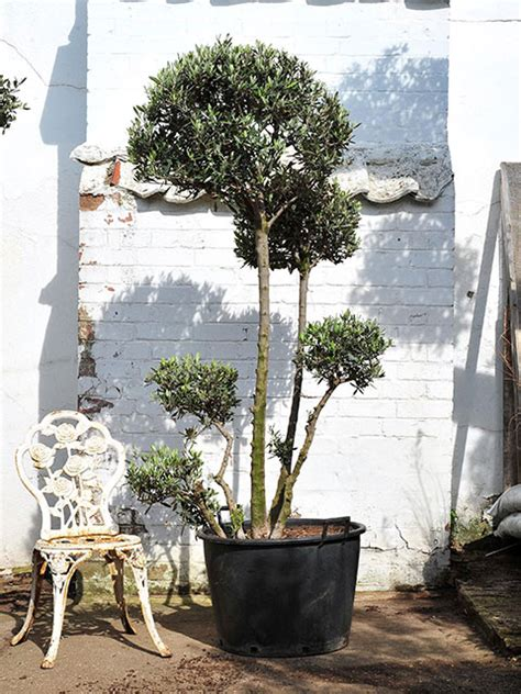 real topiary trees for sale pom pom olive tree for sale the norfolk olive tree company