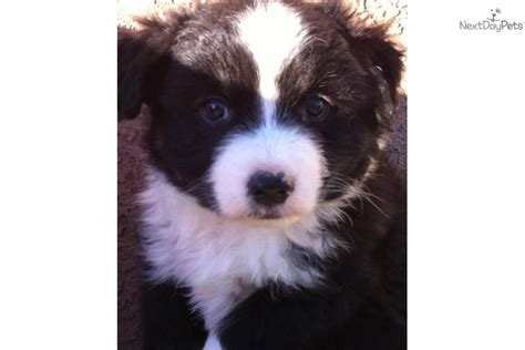 australian shepherd puppies colorado australian shepherd puppies aussies colorado breeds picture