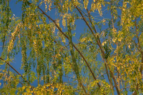 fruit trees bay area photo 1516 15 drumstick tree moringa oleifera with