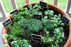 indoor herb gardens    guide   plant