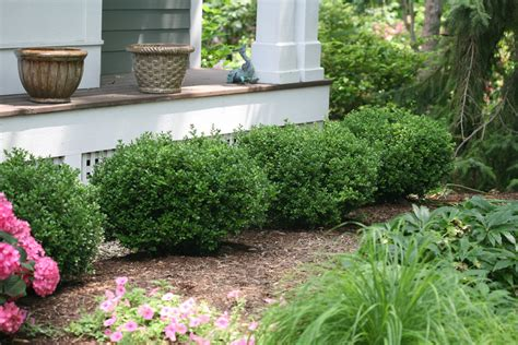 How To Start Landscaping Your Yard Sprinter 174 Boxwood Buxus Microphylla Images Proven