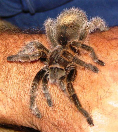 tarantula pet by delaverano on deviantart