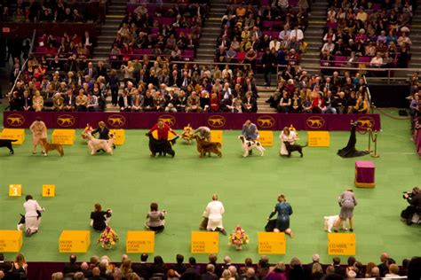 westminster kennel club show westminster kennel club show facts vetiq