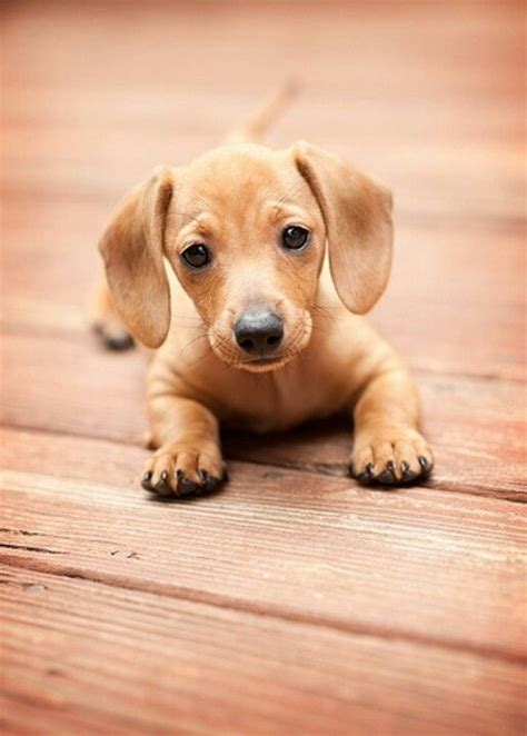 baby dachshund puppies baby doxie dachshund sausage pets