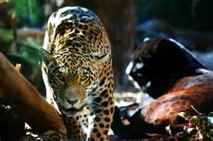 Jaguars And Panthers Jaguar Facts Animal Facts Encyclopedia