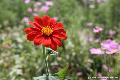 mexican sunflower pictures tithonia rotundiflora pictures