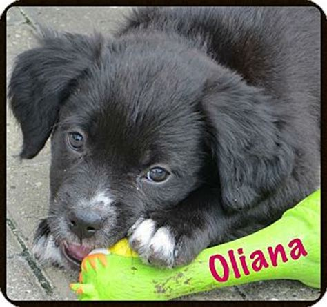 pug collie mix fort wayne in border collie pug mix meet oliana a puppy for adoption