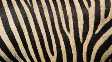 apple wallpaper zebra 1280x720 zebra stripes desktop pc and mac wallpaper