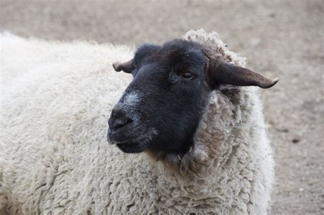 watch a sheep get a haircut at the queens zoo this weekend