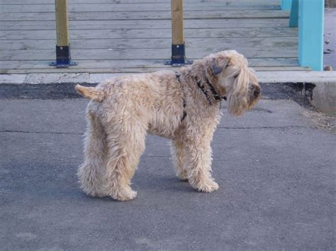 Soft Coated Wheaten Terrier Shedding by Soft Coated Wheaten Terrier 187 Info Pictures More