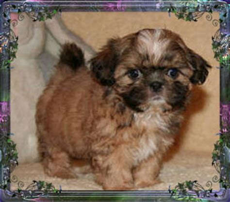 pocket shih tzu puppies for sale imperial shih tzu puppies for sale imperial breeder