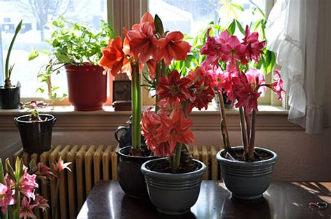 amaryllis how to grow indoor blooms gardeners com