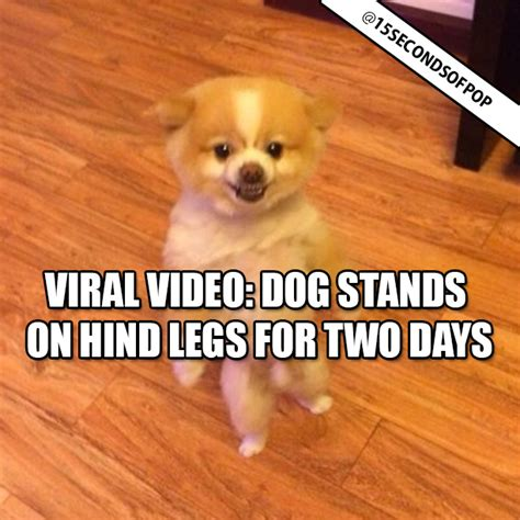 pomeranian hind legs pomeranian puppy stands on hind legs 15secondsofpop