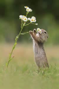 hmm dat smell european ground squirrel by julian rad animal magnetism pinterest