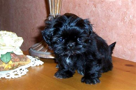 tea cup shih tzu puppies teacup shih tzu black photo happy heaven