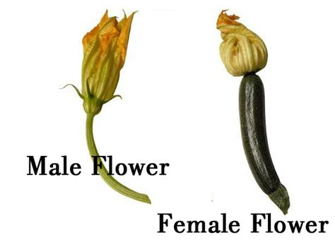 identify male from female squash flowers my coastal muse